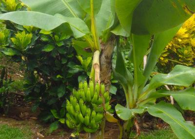 Garden_Banano