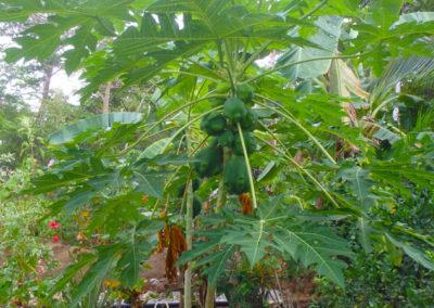 Garden_papaya