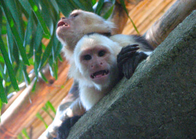 Wildlife_MonkeysCapuchin