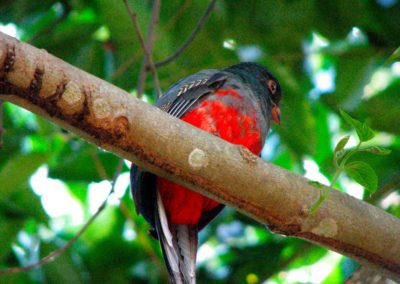 Wildlife_Trogon