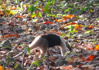 Wildlife_anteater