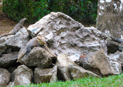 Wildlife_iguanas