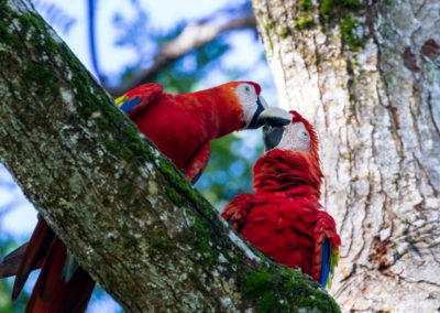 65154505 - loving pair of scarlet macaws kissing underneath a tree